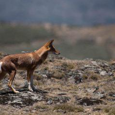 Pourquoi photographier le loup d'Ethiopie