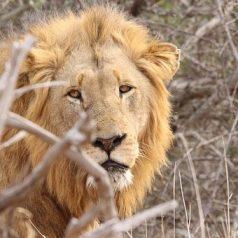 Partez pour un safari inoubliable au cœur du parc Kruger, joyau sud-africain